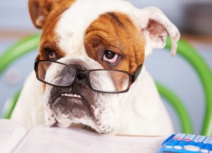 Sad Looking British Bulldog Pretending To Be Businessman